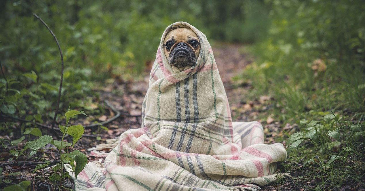 Mascota con manta