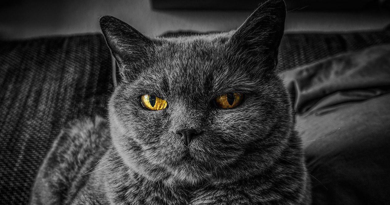 Mascota gato negro